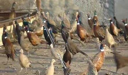 Бизнес в деревне – фазанья ферма