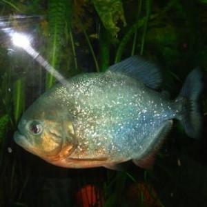Работа на дому - разведение аквариумных рыбок