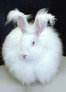 разведение пуховых кроликов