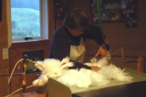 Заготовка кроличьего пуха