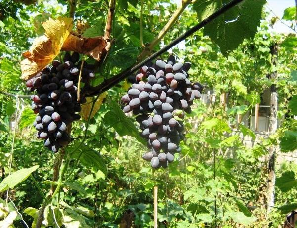 Виноградарство – актуальный бизнес для деревни