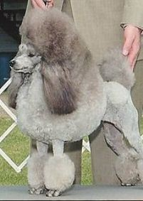 Пудель – собака королевской крови