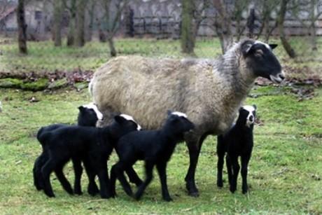 Романовские овцы: прибыльный деревенский бизнес