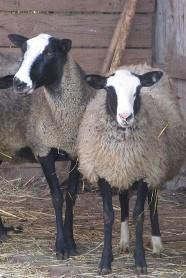 Романовские овцы: прибыльный бизнес