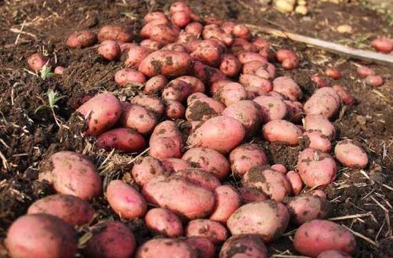 Бизнес в деревне на картофеле