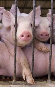 Использование ферментных препаратов в свиноводстве