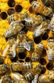 Бизнес идея. Пчеловодство