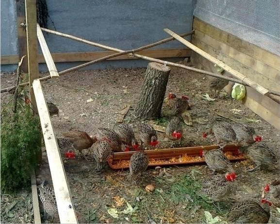 Домик для фазанов своими руками